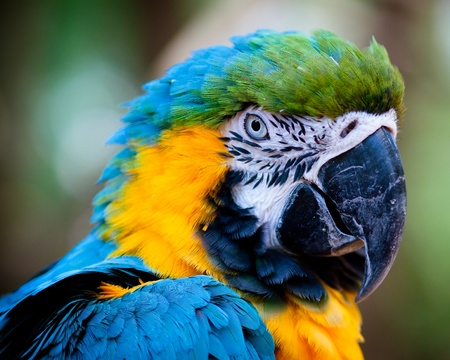 Blue and yellow macaw close up photo
