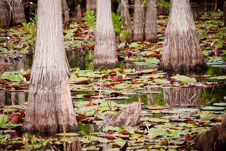 Cypress trees and lily pads in Florida swamp. Reklamní fotografie - 9747928