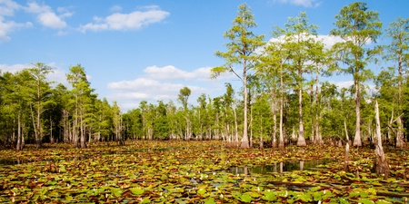 Cypress trees and lily pads in Florida swamp.