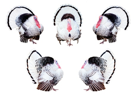 Composite of turkeys in different poses isolated on white. Stock Photo - 9747931