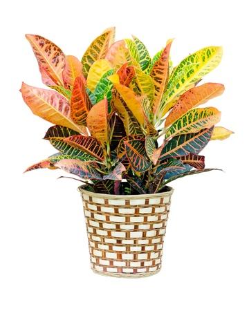 potting: Croton house plant isolated on white background  Stock Photo