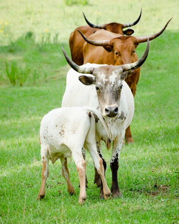 longhorn cattle: Line of longhorn cattle