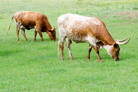 longhorn cattle: Longhorn cattle grazing in field