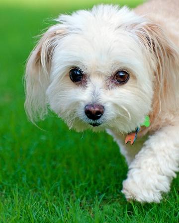 running nose: Portrait of maltipoo dog running in field