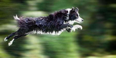 Frontera mojado perro collie en el aire después de saltar fuera de muelle en el agua, con la panorámica de movimiento borroso.