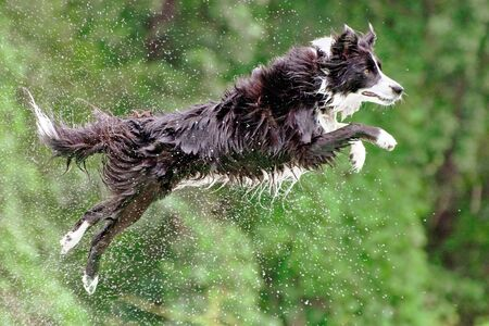 border collie: Wet border collie dog in midair after jumping off dock into water.