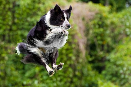 Border collie dog in midair after jumping off dock into water.