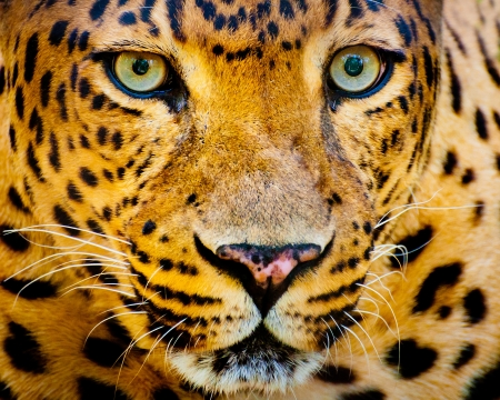 Close up portrait of leopard with intense eyes photo