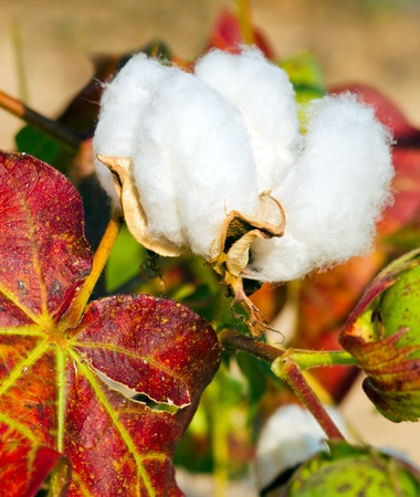 Close up of cotton boll on plant photo