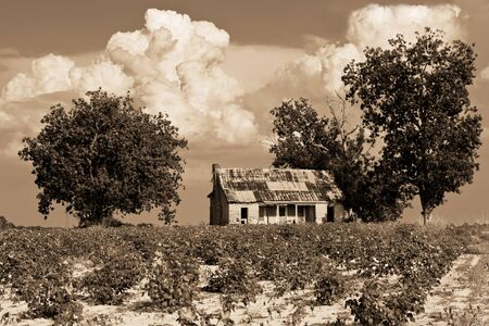 alabama: Rustic shack in middle of cotton field in southern Alabama