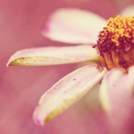 White daisy with pink background photo