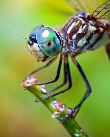 ojos azules: Dragonfly cerca