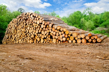 logging: Pine timber stacked at lumber yard Stock Photo