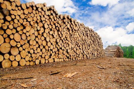 Pine timber stacked at lumber yard Stock Photo