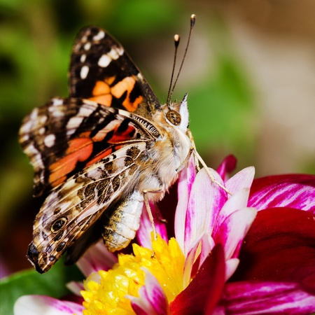 Painted Lady butterfly, Vanessa cardui photo