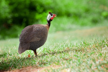 Wild guinea fowl outdoors  Stock Photo - 13276101