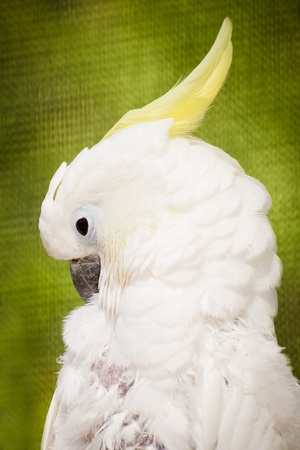 cockatoo: Portrait of cockatoo