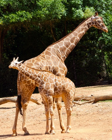 Giraffe female with her young  photo