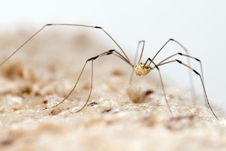opiliones: Granddaddy longlegs spider Stock Photo