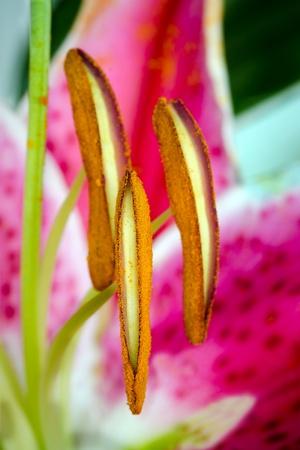 stargazer lily: Close up macro of stargazer lily flower