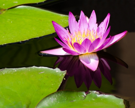 lilia: Lotus flower in water Stock Photo