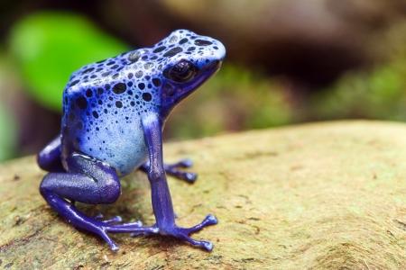 Blue poison dart frog, Dendrobates azureus, in its natural habitat with copy space