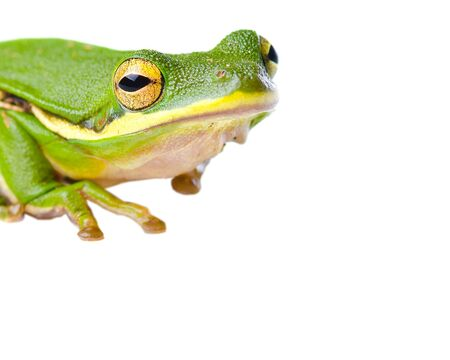 Tree frog isolated on white Stock Photo - 14358910
