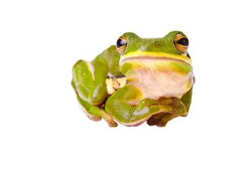 Tree frog isolated on white Imagens - 14358909