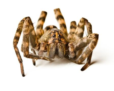 Close-up van wolf spider op een witte achtergrond Stockfoto