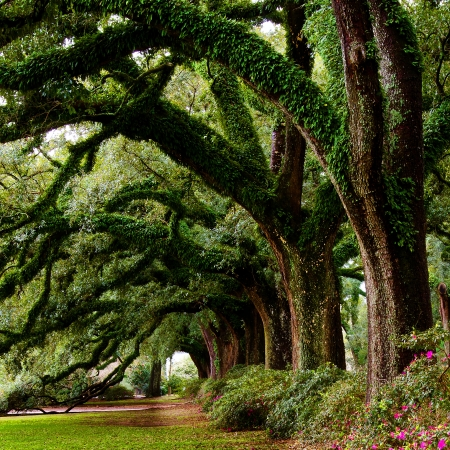 spring season: Line of ancient oak trees in park setting