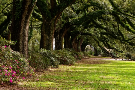 fall scenery: Line of ancient oak trees in park setting