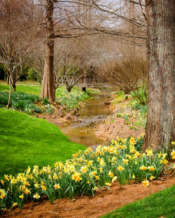 Daffodils blooming next to woodland creek photo