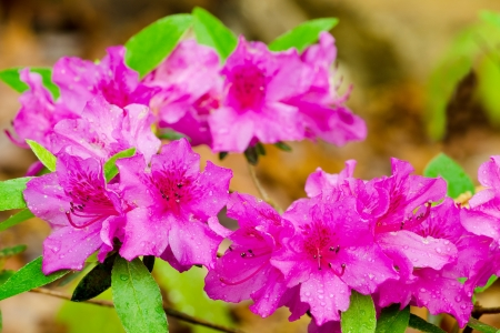 romcaper: Pink azaleas blooming in spring