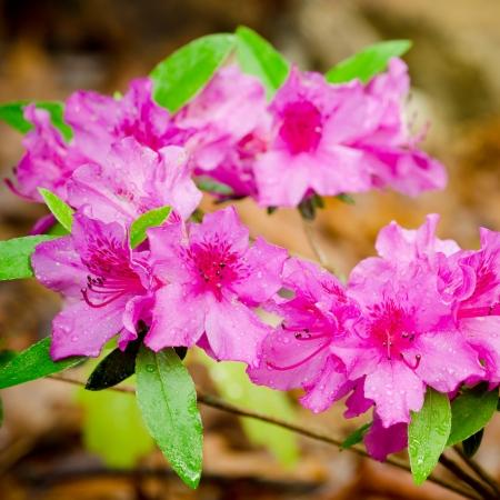 seres vivos: Azaleas rosas que florecen en primavera