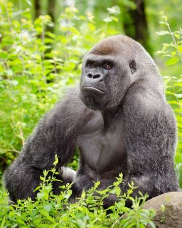 Lowland gorilla photo