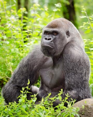 silverback: Lowland gorilla