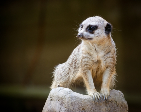 adapted: Alert meercat Stock Photo