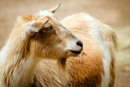 billy: Portrait of billy goat on farm