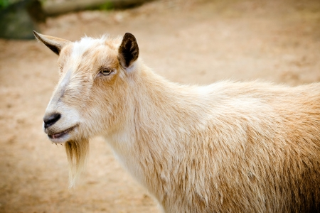 Portrait of billy goat on farm photo