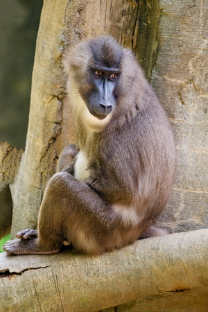 an analysis of baboons and their habitat Use of baboons in laboratories and medical research has also increased baboons are losing their homes habitat loss due to overgrazing, agricultural expansion, irrigation projects, and overall human settlement growth is a threat to baboons.