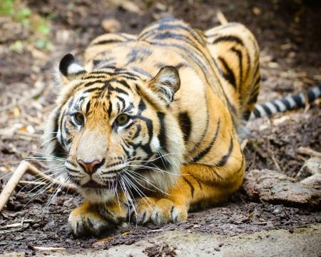 Tiger stalking photo