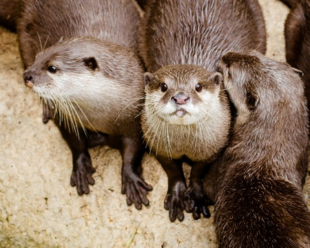 clawed: Asian small claw otters