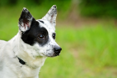 red heeler: Portrait of blue heeler or Australian cattle dog with space for copy