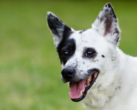 heeler: Portrait of blue heeler or Australian cattle dog with space for copy