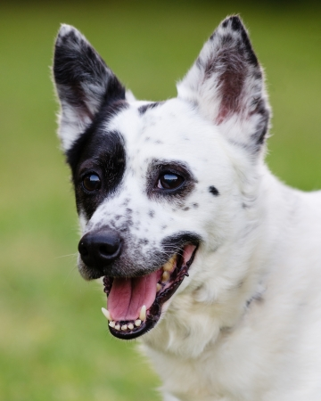 red heeler: Portrait of blue heeler or Australian cattle dog