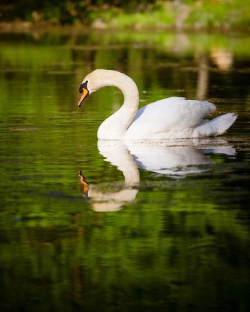 Swan swimming in mountain lake during spring photo