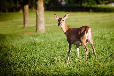 Portrait of pregnant whitetail deer doe, Odocoileus virginianus,  grazing in field during spring Stock Photo