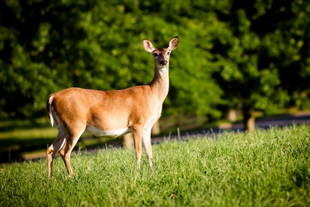 Portrait of pregnant whitetail deer doe, Odocoileus virginianus,  grazing in field during spring Stock Photo - 19970413