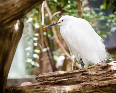 roosting: Snowy egret roosting among fallen trees Stock Photo
