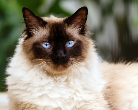himalayan cat: Portrait of Himalayan cat
